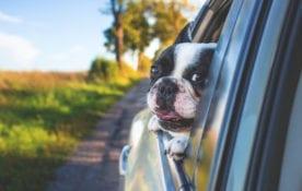 Pies w samochodzie, jak przewozić psa w samochodzie ?