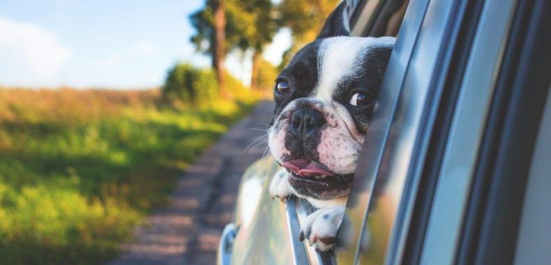 Jak przewozić psa w samochodzie ?