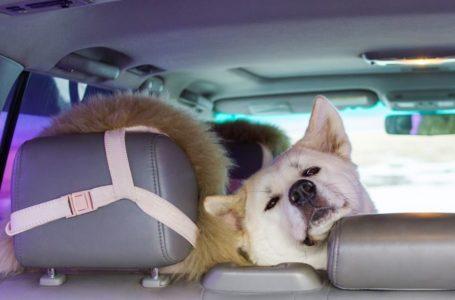 Jak przewozić psa w aucie zgodnie z przepisami i kiedy możesz stracić odszkodowanie?